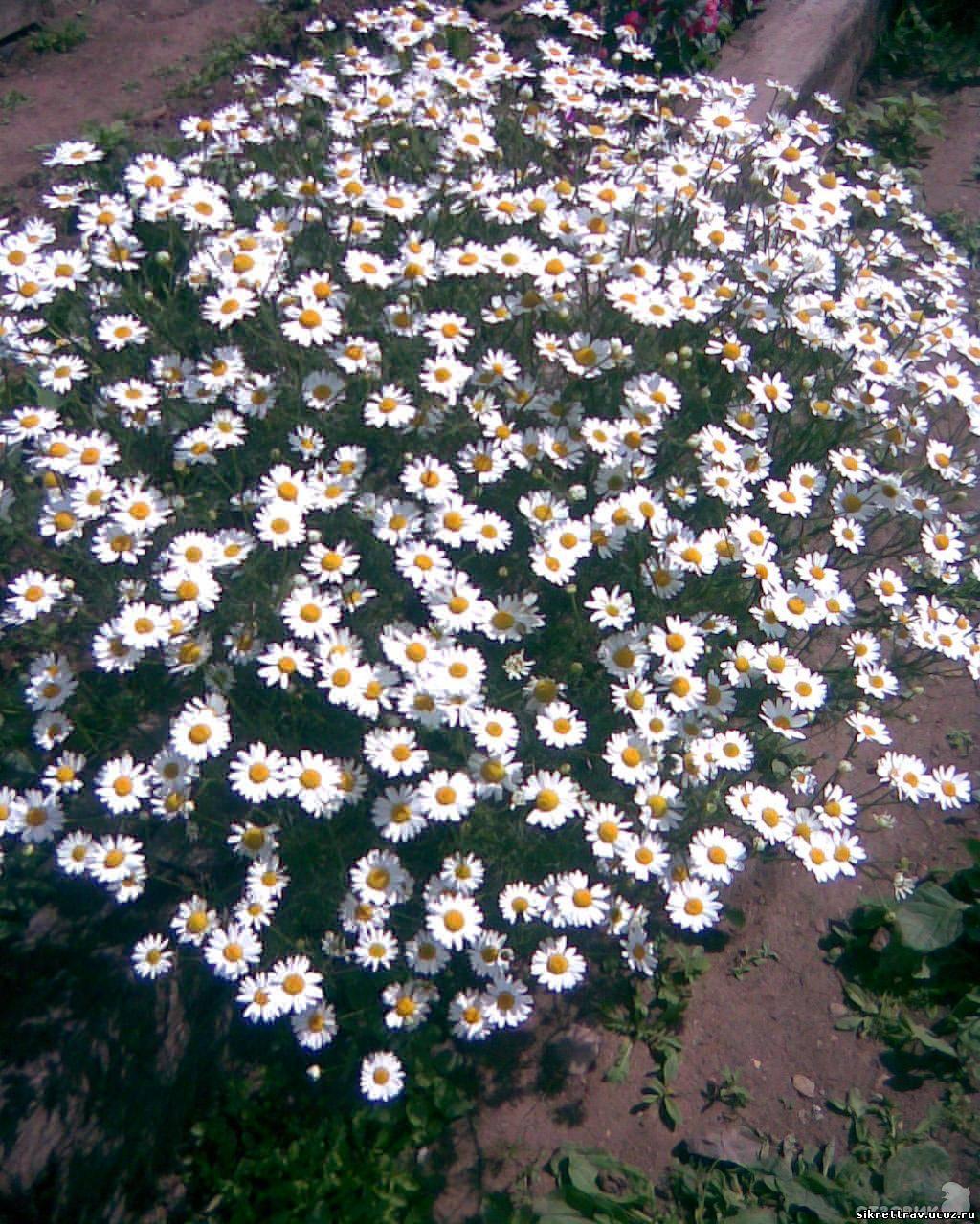 Выращивание ромашки крупной (гигантской). Посадка и уход